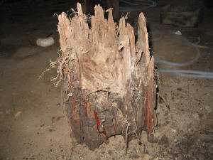 Rotting stump caused by tree roots